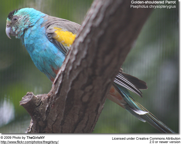 Golden-shouldered Parrot, Psephotus chrysopterygius