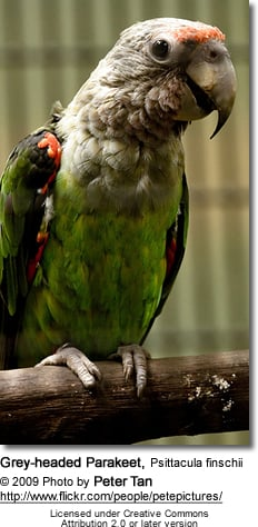 Grey-headed Parakeet, Psittacula finschii