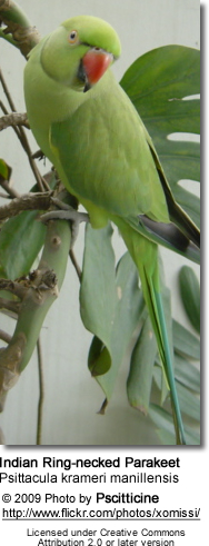 Psittacula krameri manillensis ... English: Indian Ring-necked Parakeet