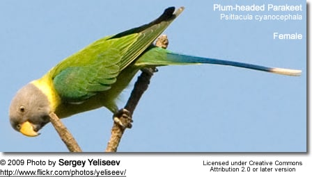 Plum-headed Parakeets (Psittacula cyanocephala) - Female