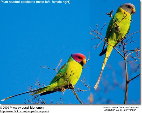 Plum-headed parakeets (male left, female right)