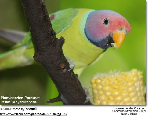 Plum-headed Parakeets (Psittacula cyanocephala)