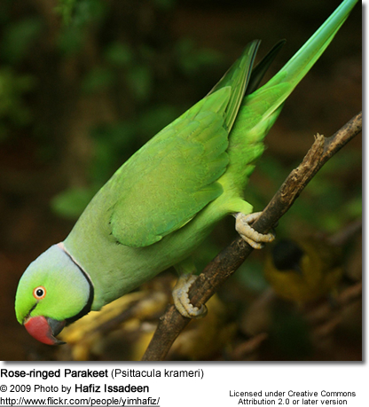 Rose-ringed Parakeets | Beauty of Birds