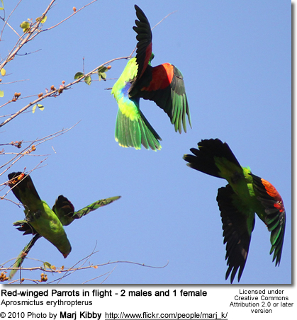 Red-winged Parrots in flight - 2 males and 1 female