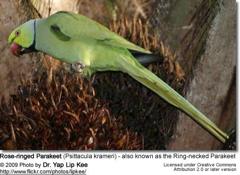 Rose-ringed Parakeet (Psittacula krameri) - also known as the Ring-necked Parakeet