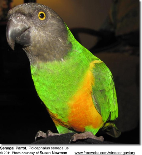 senegal parrots aka yellow vented parrots beauty of birds