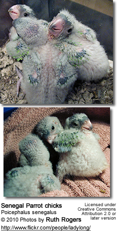 Senegal Parrot chicks