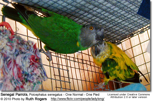 Senegal Parrot (Poicephalus senegalus) - 1 Normal and 1 Pied