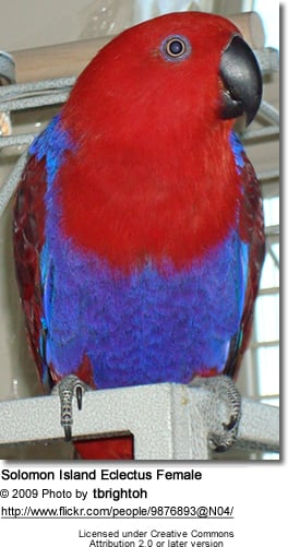Solomon Island Eclectus Female