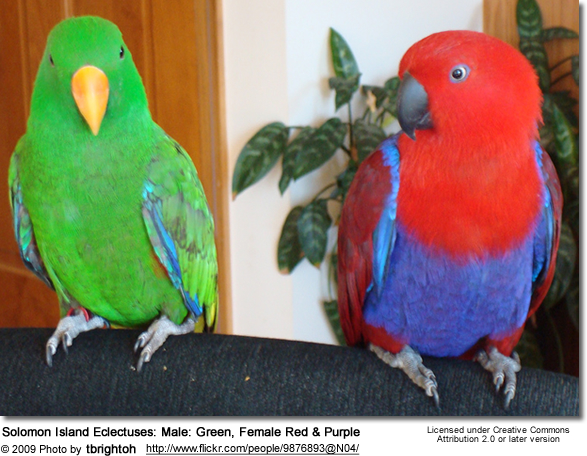 Solomon Eclectuses Beauty Of Birds