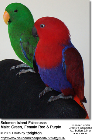 Solomon Island Eclectuses: Male Green