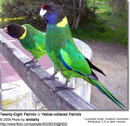 Twenty-Eight Parrots or Yellow-collared Parrots