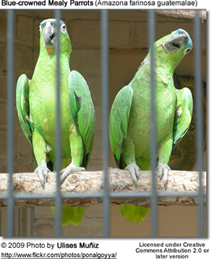 Blue-crowned Mealy Parrots