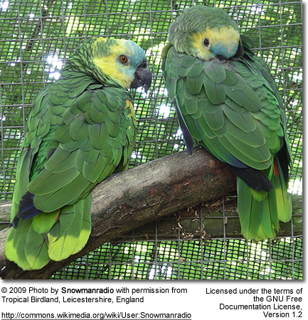 Blue-fronted Amazon Pair