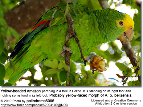 Double Yellow Head or Yellow-headed Amazon (Amazona oratrix aka Amazona ochrocephala oratrix)