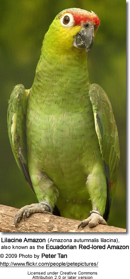 Lilacine Amazon (Amazona autumnalis lilacina), also known as the Ecuadorian Red-lored Amazon