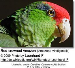 Red-crowned Amazon (Amazona viridigenalis) also known as Green-cheeked Amazon, Red-crowned Parrot, or Mexican Red-headed Parrot