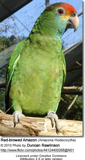 Red-browed Amazon (Amazona rhodocorytha)