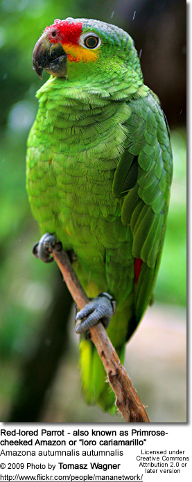 "Red-lored Parrot - also known as Primrose- cheeked Amazon or ""loro cariamarillo"""