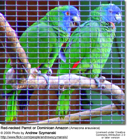 Red-necked Parrot or Dominican Amazon (Amazona arausiaca)