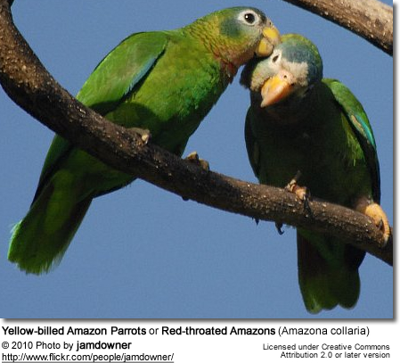 Yellow-billed Amazon Parrots or Red-throated Amazons (Amazona collaria)