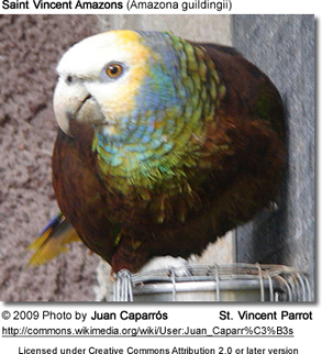 Saint Vincent Amazons (Amazona guildingii)