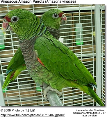 Vinaceous Amazon Parrots (Amazona vinacea)