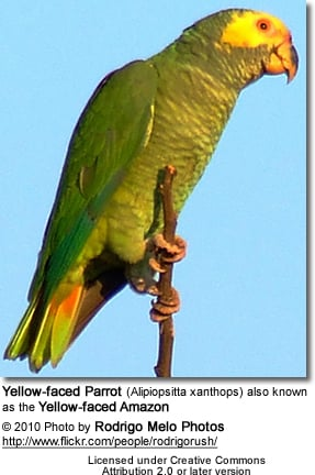 Yellow-faced Parrot (Alipiopsitta xanthops) also known Yellow-faced Amazon Parrot