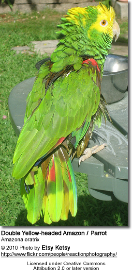 Yellow-headed Amazon (Amazona oratrix) or Double Yellow-headed Amazon