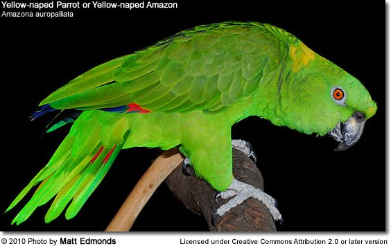 Yellow-naped Parrot or Yellow-naped Amazon Parrot (Amazona ochrocephala auropalliata or Amazona auropalliata)