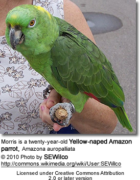Morris is a twenty-year-old Yellow-naped Amazon parrot