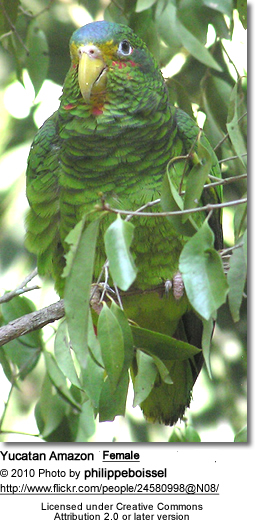 Yucatan Amazon (Amazona xantholora)
