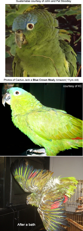 Blue-crowned Mealy Parrot