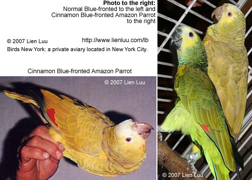 Blue-fronted Amazon Pair, including a cinnamon mutation