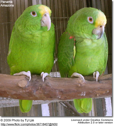 Panama Yellow-fronted Amazon Parrots