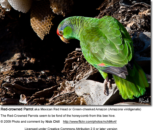 Red-crowned Amazon Parrot feeding on honey comb