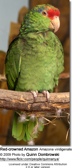 Red-crowned Amazon Amazona viridigenalis