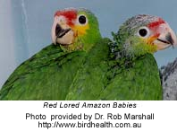 Red Lored Amazon Chicks