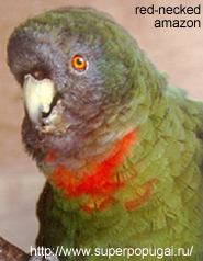 Red-necked or Blue-faced Amazon Parrot