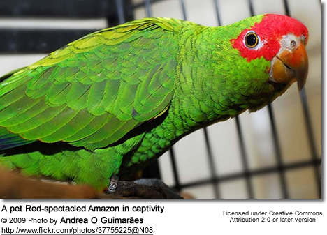 Red-spectacled Amazon Parrots