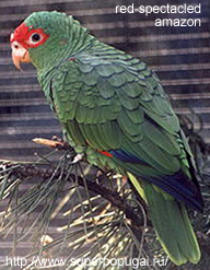 Red-spectacled Amazon