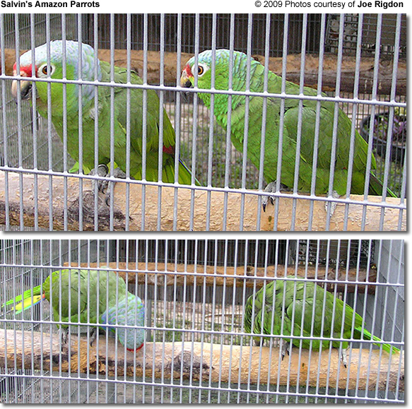Salvin's Amazon Parrots - A Pair