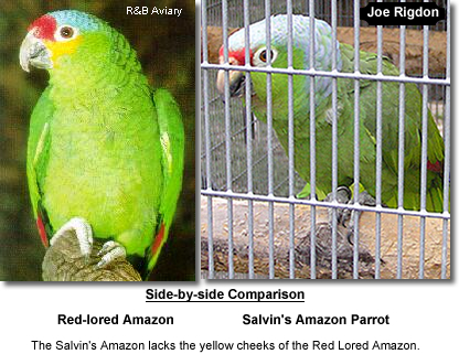 Side-by-side Comparison: Red Lored Amazon Parrot compared to Salvin's Amazon Parrot