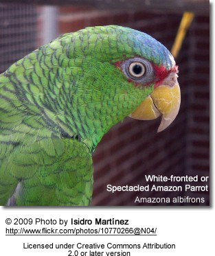 Spectacled Amazon Parrot
