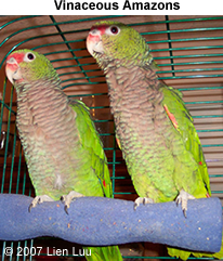 Vinaceous Amazon Parrot