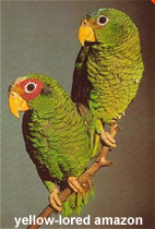 Yellow-lored Amazon