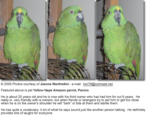 Yellow-nape Parrot