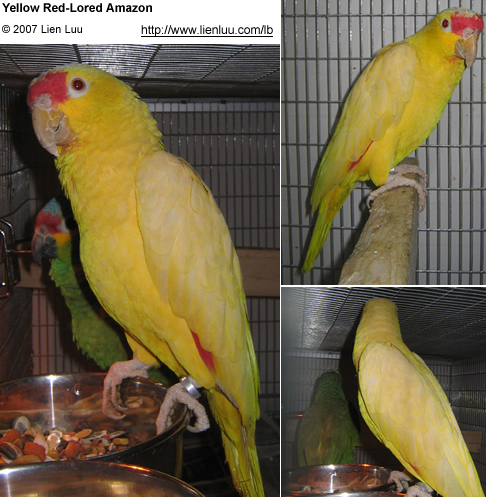 Beautiful yellow mutation of the Red-lored Amazon