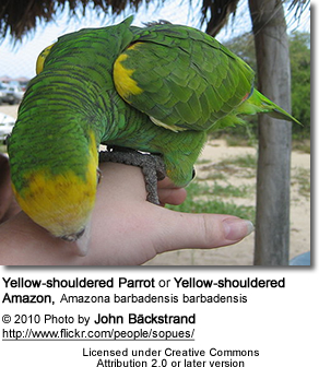 Yellow-shouldered Parrot or Yellow-shouldered Amazon
