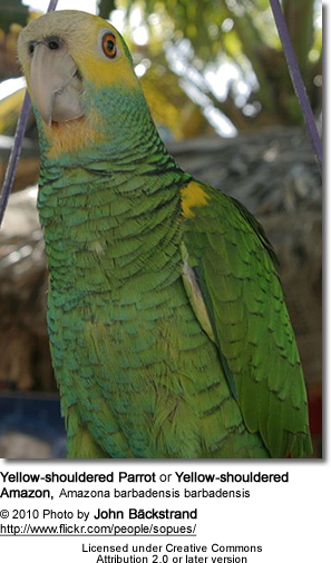 Yellow-shouldered Parrot or Yellow-shouldered Amazon (Amazona barbadensis barbadensis